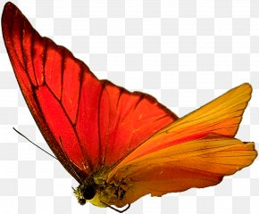 Butterfly,insect,specimen - Butterfly Insect Moth Wallpaper PNG
