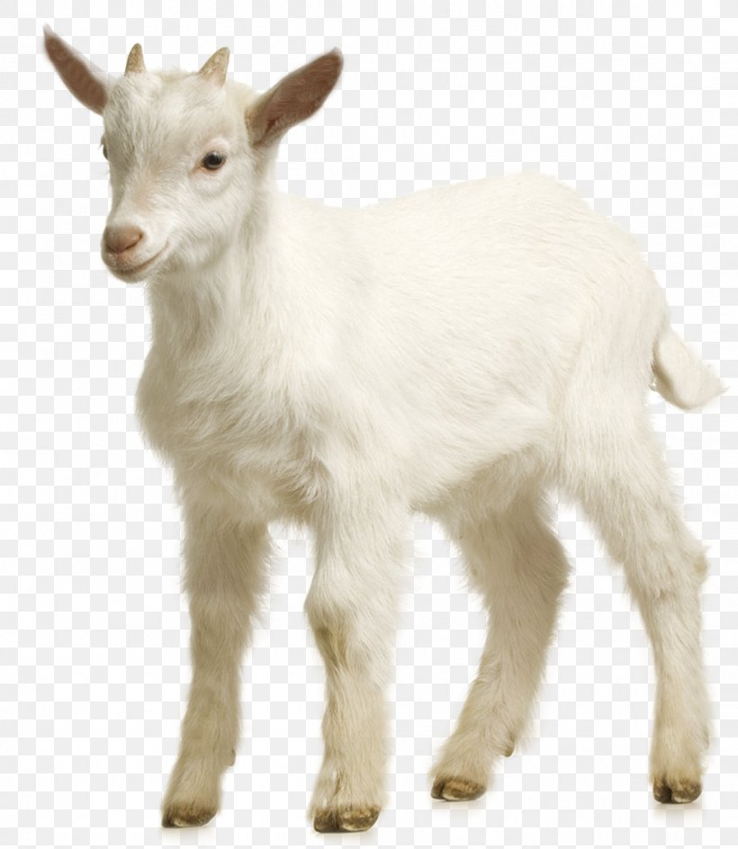 Goat Sheep Download, PNG, 1150x1325px, Goat, Chart, Computer Graphics, Cow Goat Family, Fur Download Free