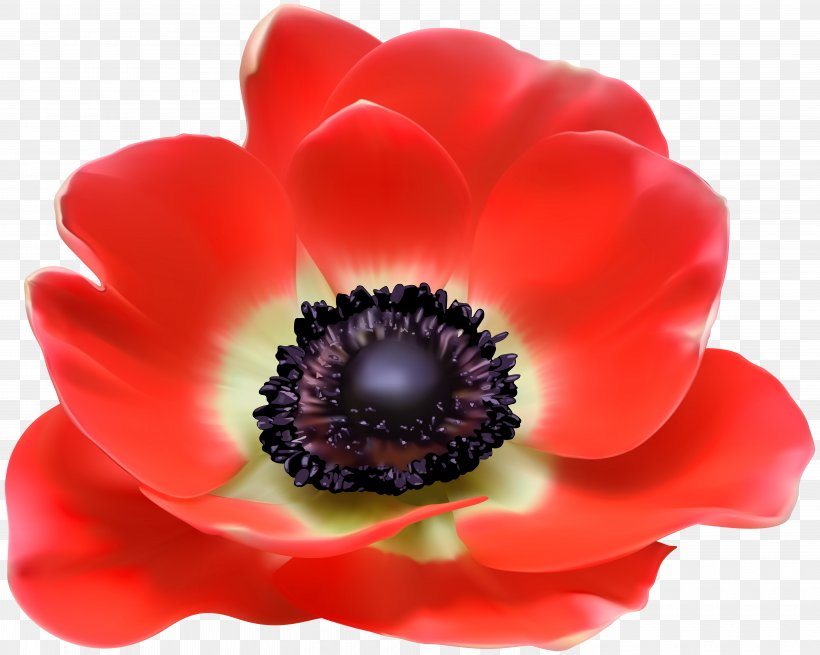 Poppy Euclidean Vector Clip Art, PNG, 6000x4795px, Template, Anemone, Art, Brochure, Business Cards Download Free