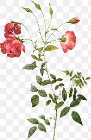Hand-painted Roses - Rosa Chinensis Centifolia Roses Botany Hybrid Tea Rose Botanical Illustration PNG
