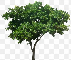 Shrubs - Populus Nigra Common Fig Tree Plant PNG