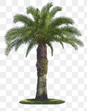 Palm Tree - Tree Arecaceae Coconut PNG