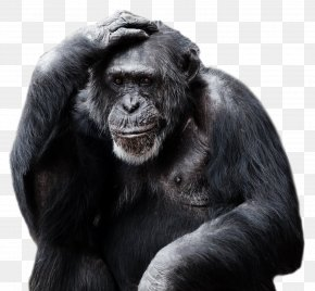 Gorilla Pic - Gorilla Ape Primate PNG
