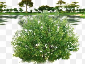 Decorative Plants - Weeping Fig Tree Qiaomu PNG