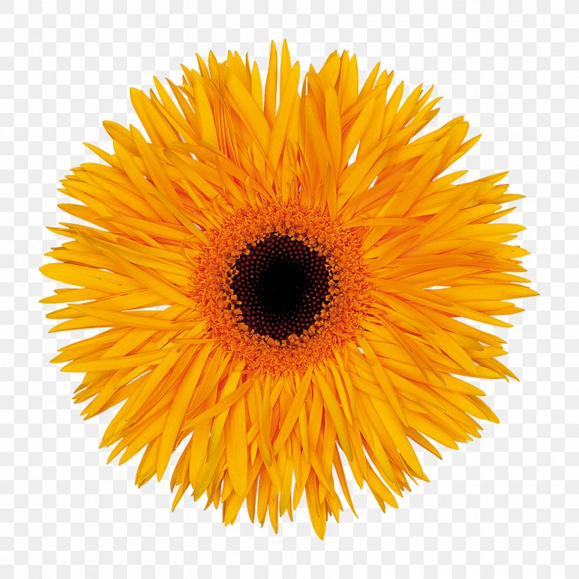Stock Photography Common Sunflower Transvaal Daisy Royalty-free, PNG, 1772x1772px, Stock Photography, Calendula, Common Sunflower, Cut Flowers, Daisy Family Download Free