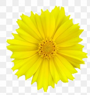 Flower - Stock Photography Flower Clip Art Yellow Transvaal Daisy PNG
