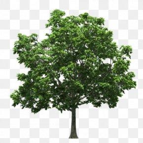Tree - Tree Branch Twig Clip Art PNG