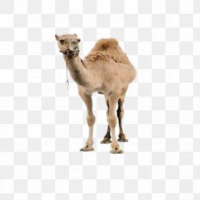 Camel - Dromedary Llama Christmas PNG