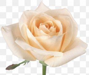 Rose - Rose Pink Drawing Flower PNG