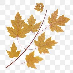 Leaf - Maple Leaf Tree Green PNG
