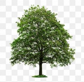 Agriculture - Populus Nigra Tree Desktop Wallpaper Stock Photography Clip Art PNG