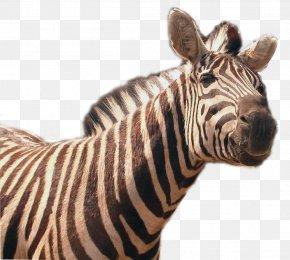 Zebra Transparent Image - Zebra Icon PNG