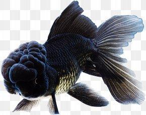 Goldfish - Bubble Eye Panda Telescope Ranchu Lionhead Butterfly Tail PNG