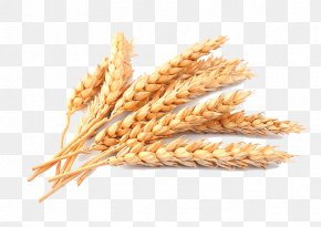 Ear - Cereal Stock Photography Common Wheat Ear PNG