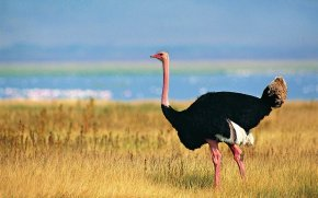 Ostrich - Common Ostrich Desktop Wallpaper High-definition Video 1080p High-definition Television PNG
