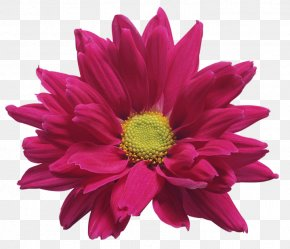 Pink Chrysanthemum Flower Transparent Clip Art Image - Chrysanthemum ×grandiflorum Gazania Rigens Clip Art PNG