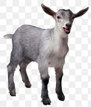 Sheep - Pygmy Goat Sheep Cattle Pig Livestock PNG