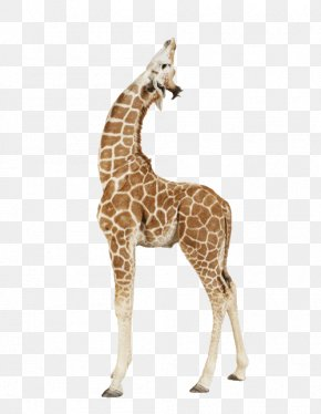 Giraffe Africa - Giraffe Paper Animal Print Printing PNG