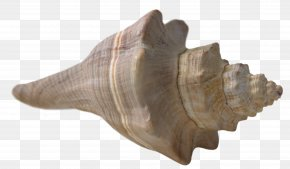 Seashell - Seashell Beach Mollusc Shell Conch PNG