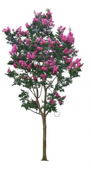 Crape Myrtle Tree - Tree Crepe Myrtle PNG