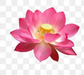 Lotus - High-definition Television Display Resolution Nelumbo Nucifera Wallpaper PNG