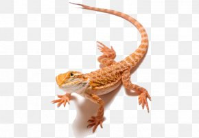 Bearded Dragon Clipart - Lizard Bearded Dragons Clip Art PNG