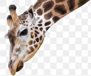 Foreground Tree - National Zoo & Aquarium African Wild Dog Reticulated Giraffe Northern Giraffe Animal Antics A PNG