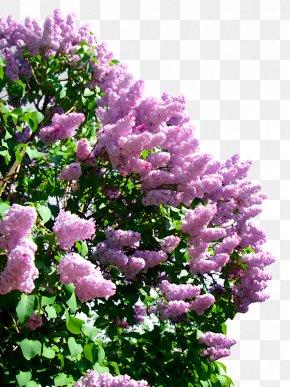Lilac - Lilac Clip Art PNG
