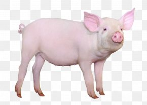 Standing Pig - Hampshire Pig Gxf6ttingen Minipig Domestication Of Animals Cattle Breed PNG