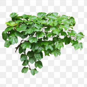 Balcony - Tote Bag Common Ivy Vine Evergreen PNG