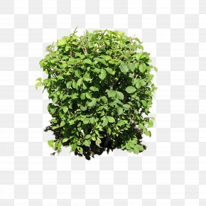 Bush Plant Image - Shrub Plant Clip Art PNG