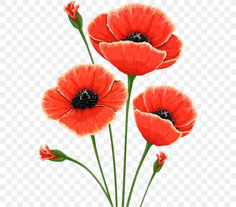 Common Poppy Flower Remembrance Poppy Poppies Png 556x718px