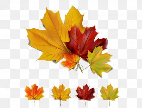Autumn Maple Leaf - Autumn Leaf Color Autumn Leaf Color Clip Art PNG