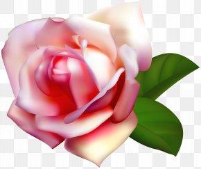 Beautiful Rose Clip Art Image - Garden Roses Centifolia Roses Rosa Chinensis Clip Art PNG