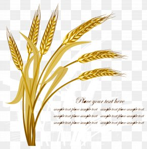 Golden Wheat Vector - Wheat Harvest Crop PNG