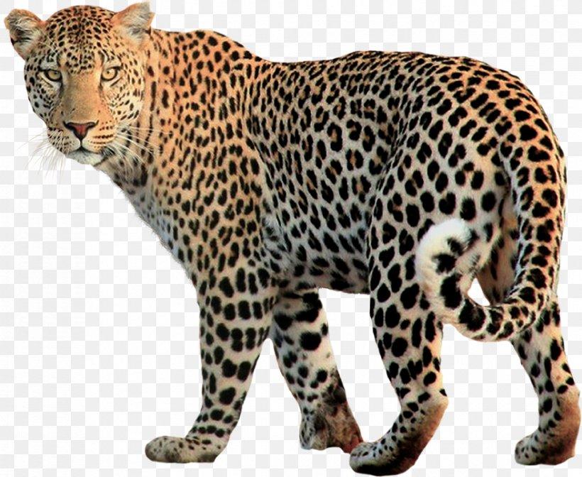 Snow Leopard Felidae, PNG, 878x720px, Leopard, Animal, Big Cat, Big Cats, Carnivoran Download Free
