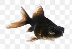 Nine Fish - Black Telescope Fantail Common Goldfish Comet Shubunkin PNG