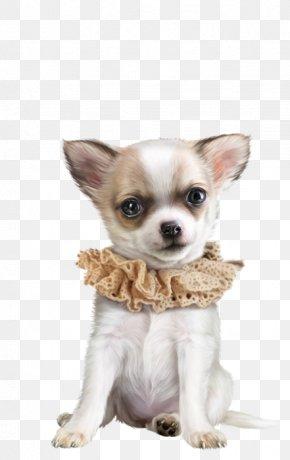 Chihuahua Dog - Corgi-Chihuahua Puppy Dog Breed Companion Dog PNG