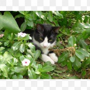 Domestic Short Haired Cat - European Shorthair Whiskers Norwegian Forest Cat Kitten Domestic Short-haired Cat PNG