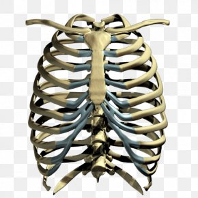 Rib Cage Transparent Images - Human Skeleton Rib Cage PNG