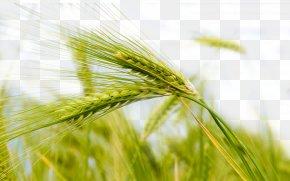 Green Wheat - Wheat Theme Nature Wallpaper PNG