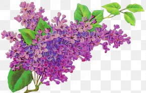 Lilac Flower - Common Lilac Flower Purple Lavender PNG