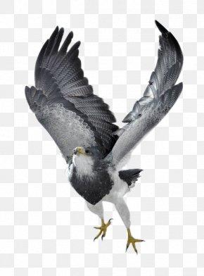 Eagle - Bird Of Prey Northern Goshawk Eagle Photography PNG