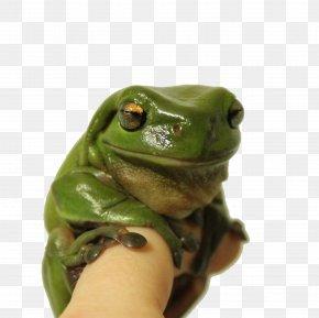 Sleeping Tree Frog - Australian Green Tree Frog Animal PNG
