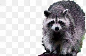 Furry Raccoon - Raccoon Dog Viverridae Fur PNG