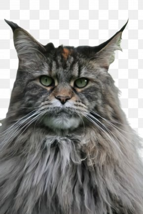 Norwegian Forest Cat Maine Coon - Cat Small To Medium-sized Cats Whiskers Domestic Long-haired Cat Maine Coon PNG