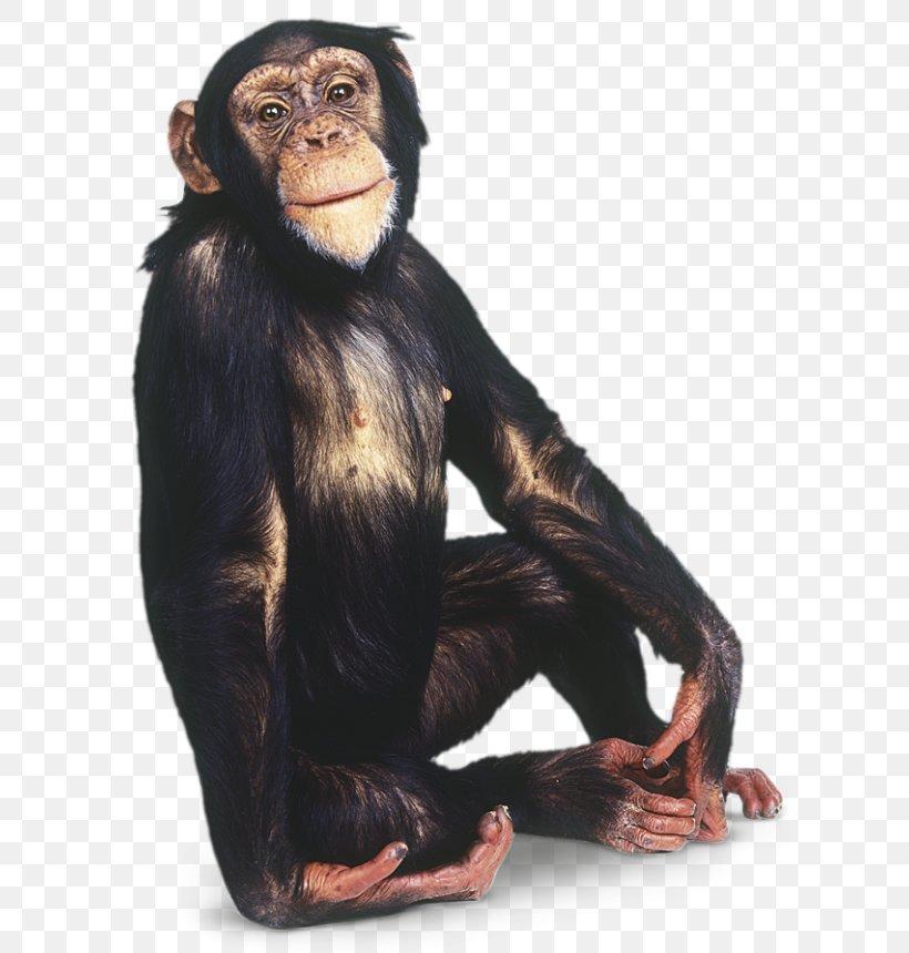 Chimpanzee Gorilla Primate Monkey, PNG, 640x860px, Gorilla, Animal, Ape, Bonobo, Chimpanzee Download Free
