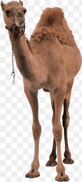 Camel Image - Bactrian Camel Dromedary PNG