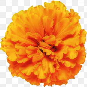 Mexican Marigold Glebionis Segetum Pot Marigold Flower Annual Plant PNG