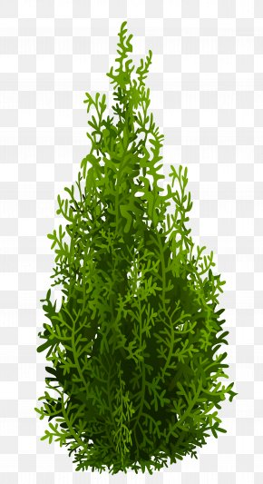 Cypress Picture - Tree Leaf Evergreen Shrub Herb PNG